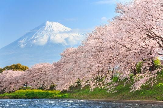Kirsebærtræer Japan 536 px